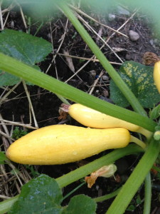 yellow crookneck squash in the vegetable garden