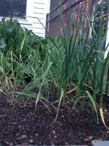 leeks in the vegetable garden