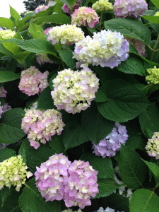 other peoples gardens - hydrangea