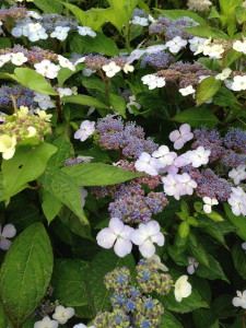 other peoples gardens - lacecap hydrangea