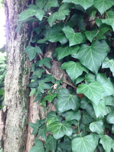 climbing ivy - other peoples gardens