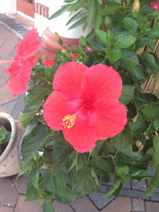 Hibiscus in flowering containers