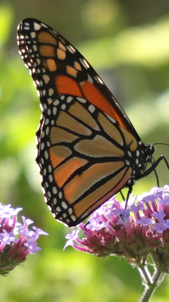 monarch butterfly on verbena bonariensis