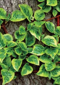 hydrangea in vertical gardening
