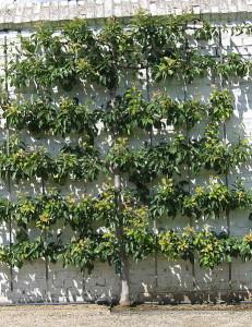 espalier vertical gardening