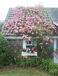 vertical gardening with roses