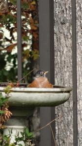 Robin Garden Visitor
