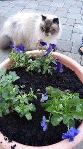 Himalyan cat helps with the pansies