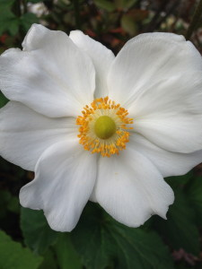 Anemones October Bloomer