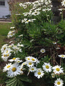 Montauk Daisies October Bloomers