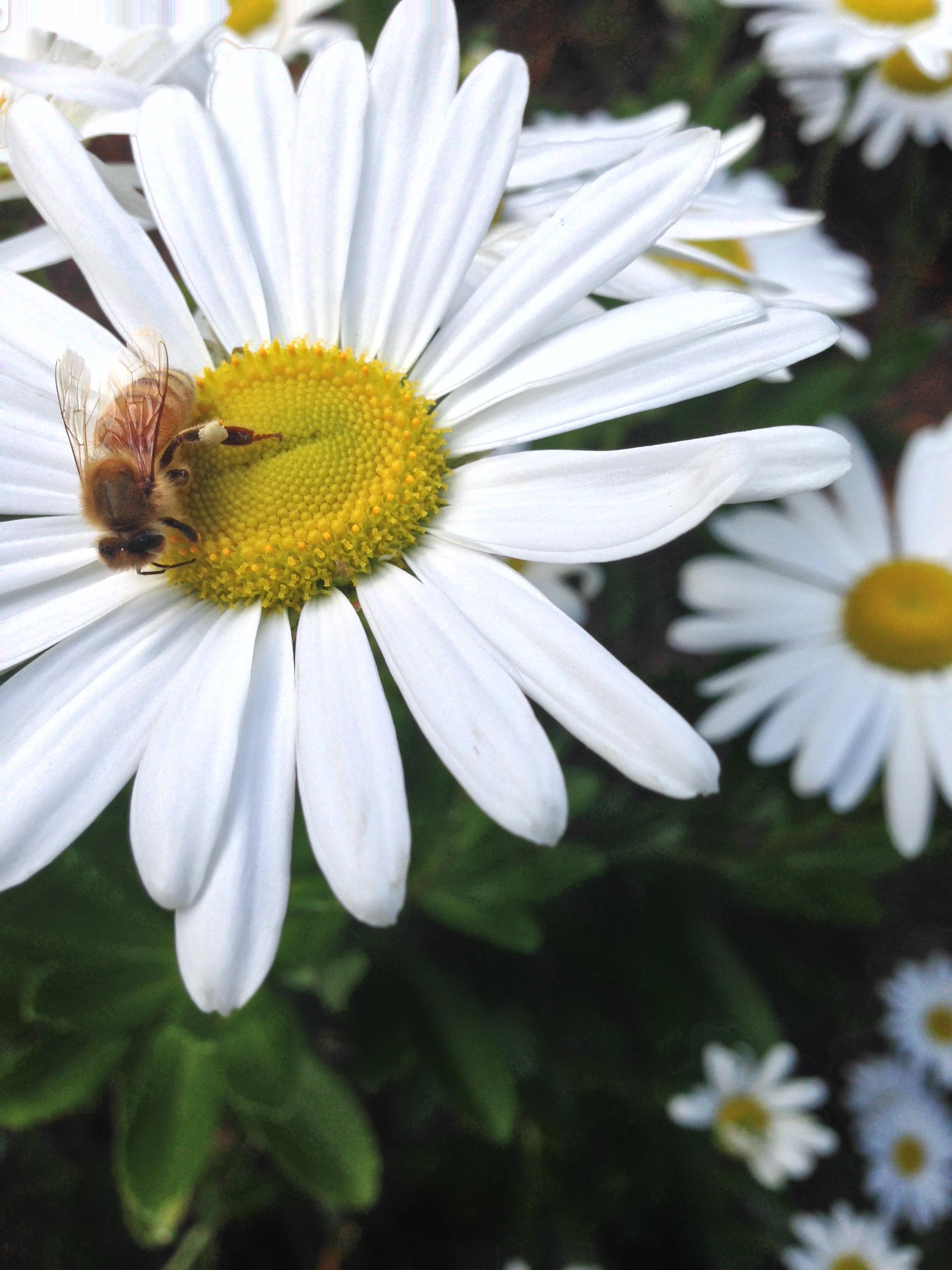 Clematis Paniculata Propagation Clematis Paniculata or Autumn