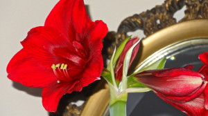 Red amaryllis in full bloom