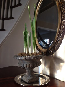 Paperwhites about to bloom