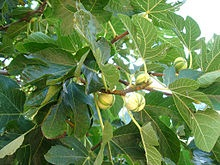 A Fig Tree Grows in New Jersey