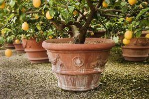 article-new-thumbnail_ehow_images_a07_1v_01_repot-meyer-lemon-800x800