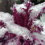 Ornamental Kale covered in ice