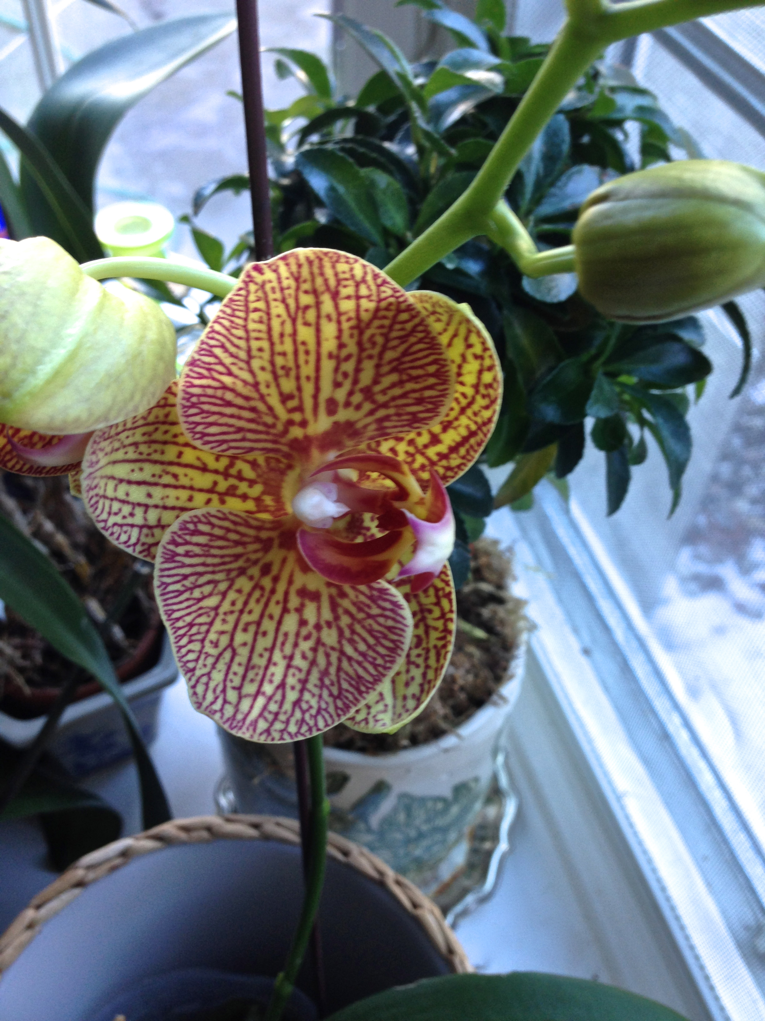 Re-blooming Phalaenopsis Orchids at Home