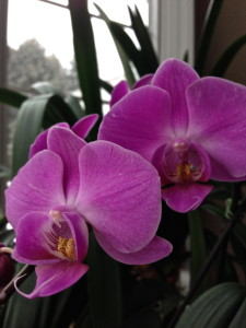 re-blooming phalaenopsis orchids