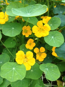 Let The Seed Orders Begin - Naturtium