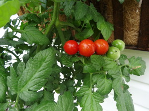 A patio sized cherry tomato plant makes a great addition to a window box. Extravagantgardens.com