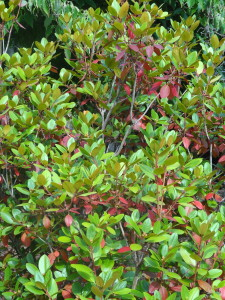 Signs of the Season : Early changing leaves on an azalea