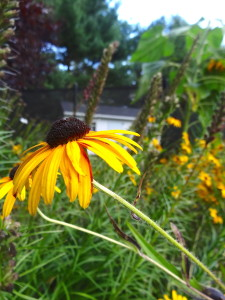 Extravagantgardens.com Wordless Wednesday, rudbeckia is a fabulous late summer flower
