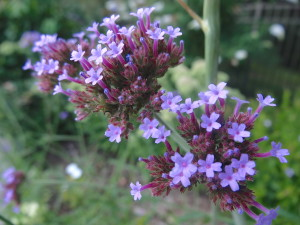 Extravagantgardens.com Wordless Wednesday, verbena bonariensis