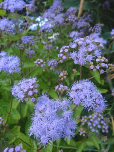 Extravagantgardens.com Wordless Wednesday, Ageratum, a beautiful blue flower