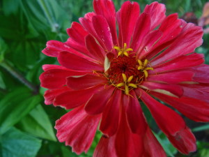 Extravagantgardens.com Wordless Wednesday, zinnias make a fabulous cut flower