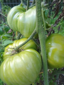 Extravagantgardens.com Wordless Wednesday, tomatoes ripening on the vine
