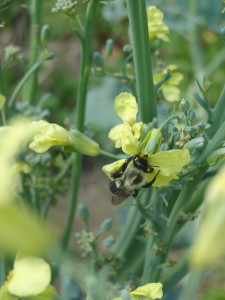 Extravagantgardens.com Wordless Wednesday, bumble bee on flowering broccolini