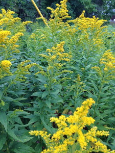 Signs of the Season : Solidago a.k.a. Goldenrod - and no it does not cause allergies...