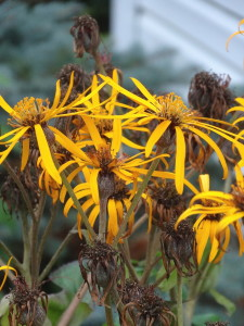Long blooming perennial, Farfugium, formally known as Ligularia