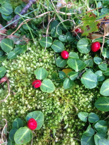 Partridge Berry or Squaw Vine