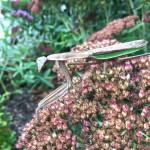 Praying Mantis stalking his prey