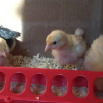Itty bitty chicks!