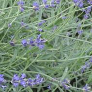 Lavender, honey, thyme sauce…