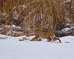 Bobcat( Lynx rufus)