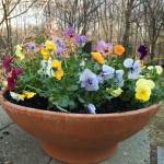 You can't go wrong with pansies...