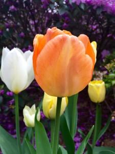 Orange Tulip, Wordless Wednesday - Spring Flowers