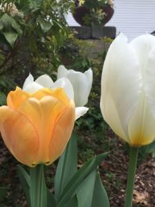 Tulips, Wordless Wednesday - Spring Flowers