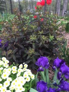 Black Foliage Euphorbia, Wordless Wednesday - Spring Flowers