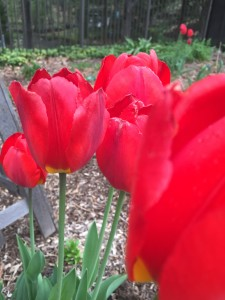 Classic Red Tulips, Wordless Wednesday - Spring Flowers
