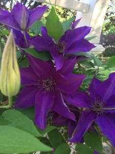 Purple Clematis in the Garden