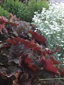 Heuchera in the Garden