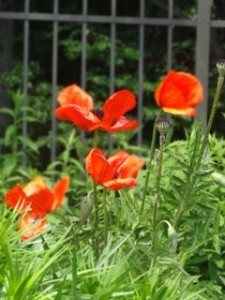 Poppies blowing in the breeze