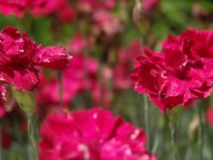 Red Scented Dianthus