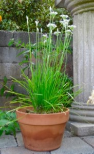 Garlic Chives from Seed