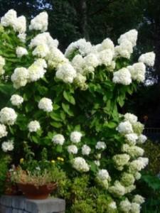 Hydrangea in full bloom