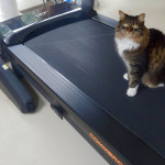 Maine Coon Cat on a Treadmill